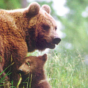 Niedźwiedź w apelacji