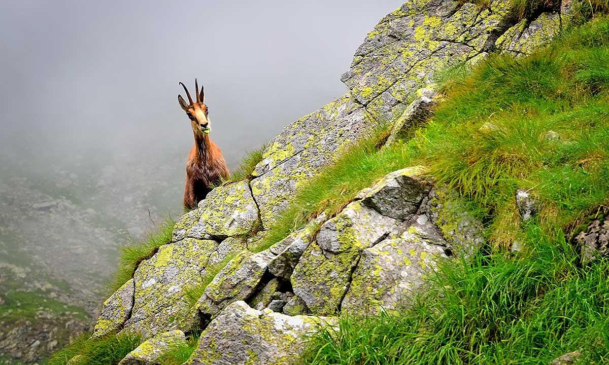 Policzone kozice w Tatrach