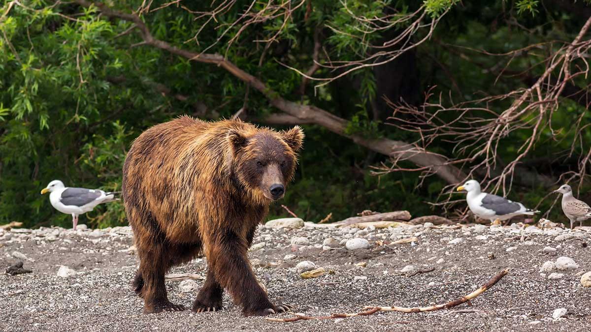 W obronie własnej ugryzł niedźwiedzia w język