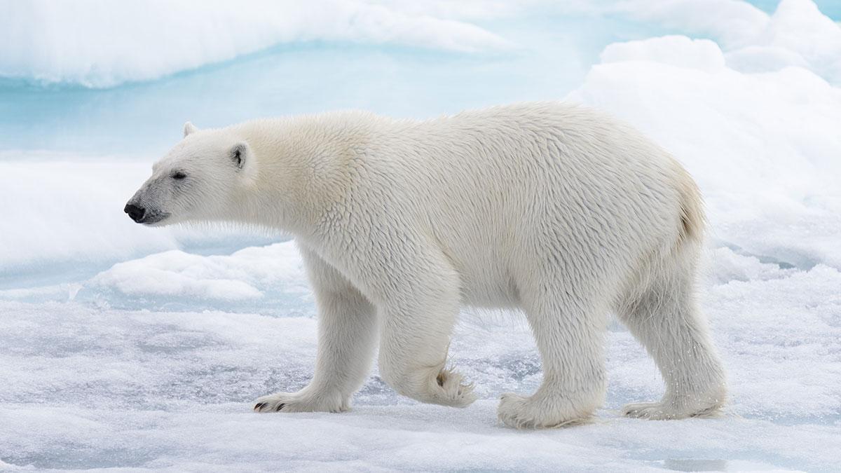 Białe niedźwiedzie na ulicach wsi