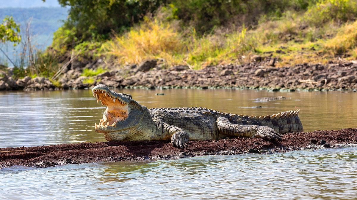Uciekł z kwarantanny i zjadł go krokodyl