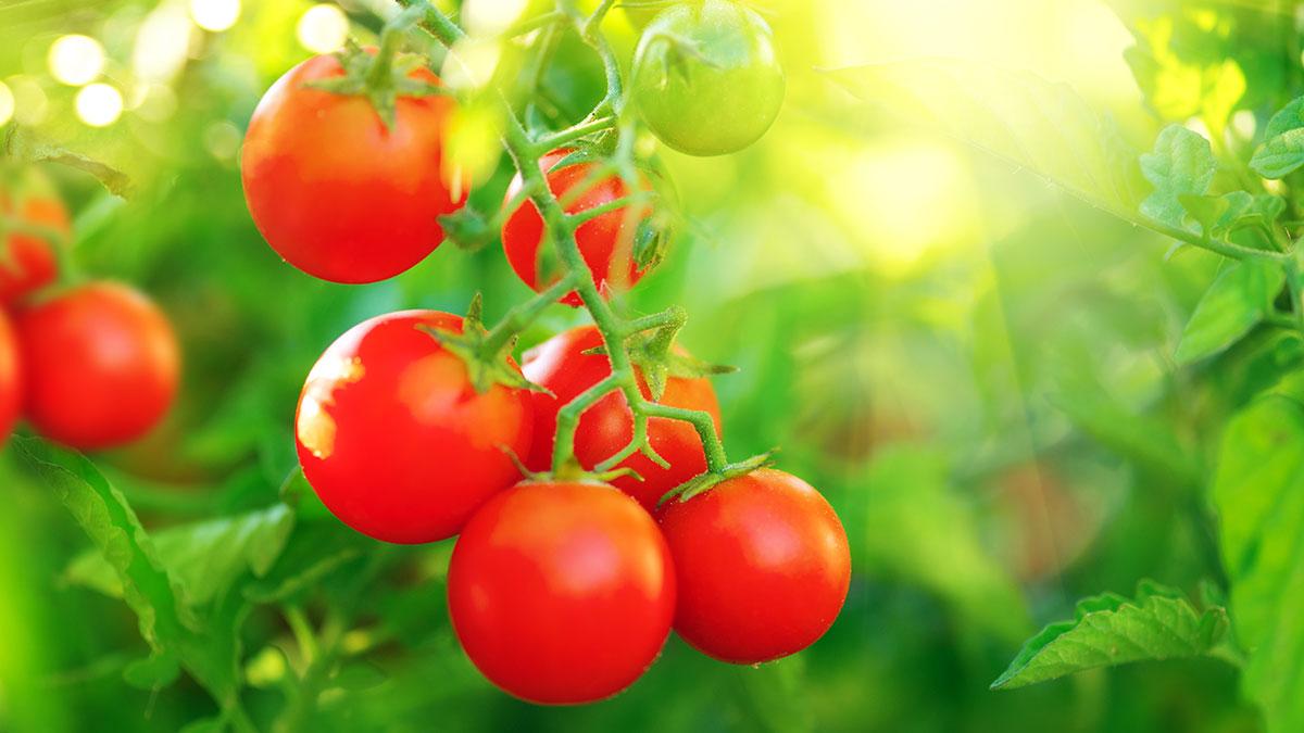 Z piłkarskiego boiska na plantację pomidorów
