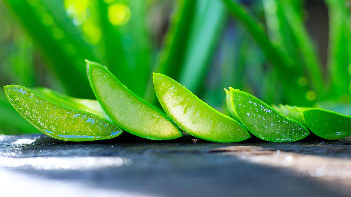 Aloes wzmacnia odporność rganizmu