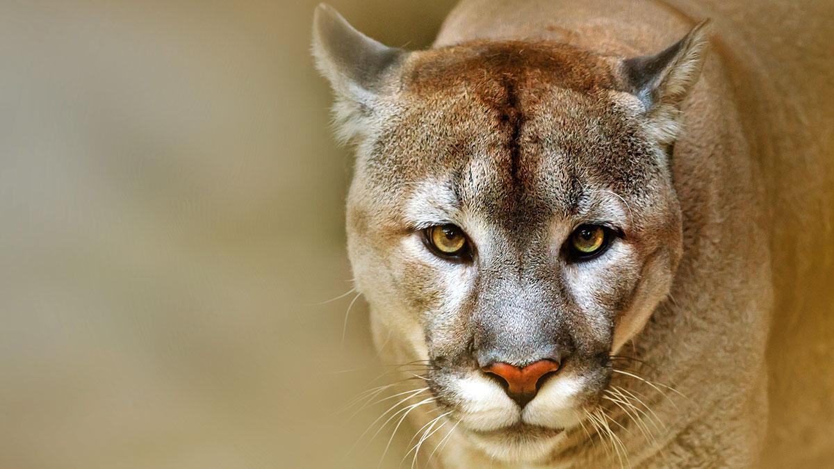 Puma Nubia zamieszkała w zoo